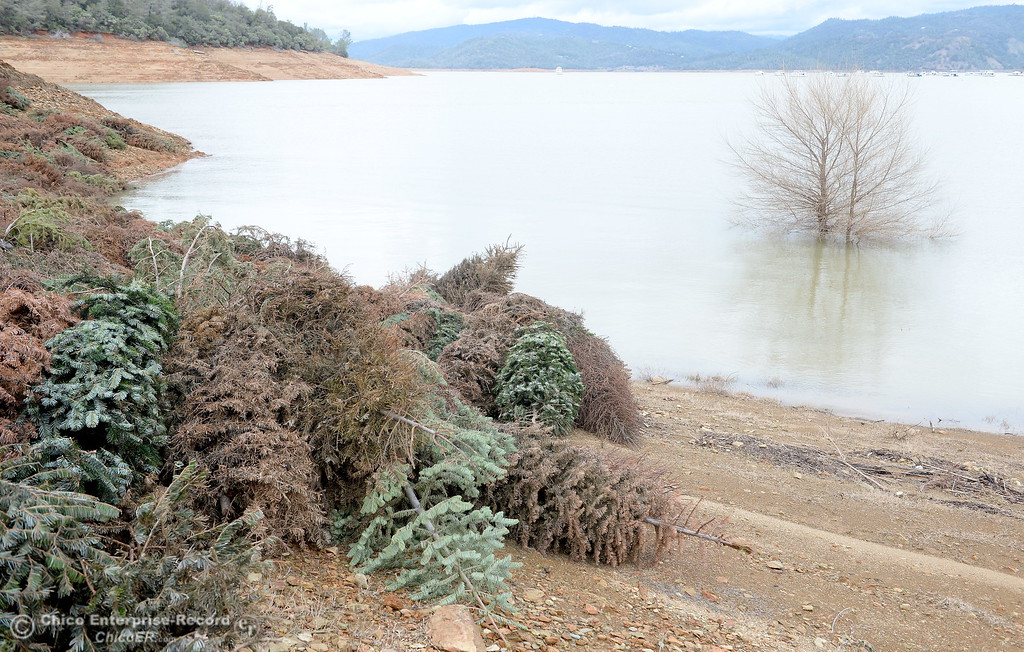 . Christmas Trees placed at the lake for fish habitat are once again above water as work at the Oroville Dam, Oroville Spillway continues Tuesday Feb. 21, 2017. (Bill Husa -- Enterprise-Record)
