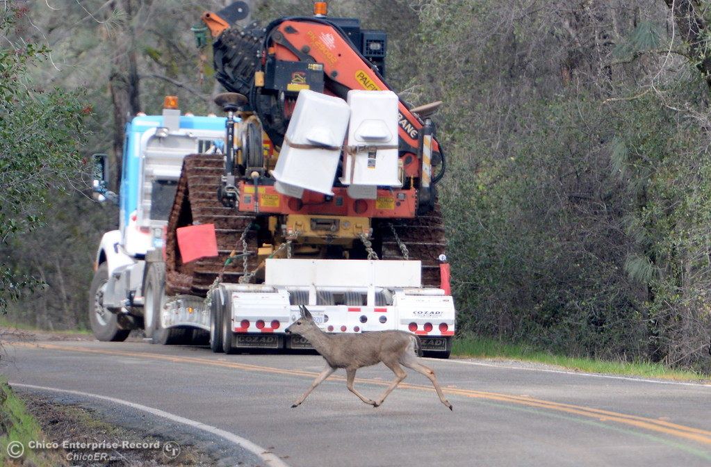 . A deer crosses E. Oro Dam Blvd. behind a large truck as work at the Oroville Dam, Oroville Spillway continues Tuesday Feb. 21, 2017. (Bill Husa -- Enterprise-Record)