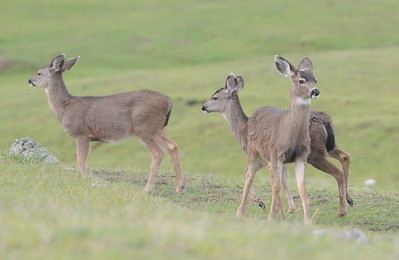 A small herd of deer are seen enjoying the green grass inside of a fenced area along Messilla Valley Road Wed. Jan. 18, 2017.  (Bill Husa -- Enterprise-Record)