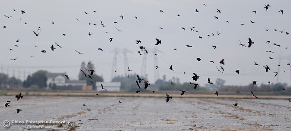 Small, black birds dot the sky above a field near Hwy. 99 north of Biggs, Calif. Monday Oct. 24, 2016. (Bill Husa -- Enterprise-Record)