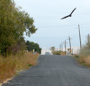 A bird flies over a lonely backcountry road outside of Chico, Calif. Monday Oct. 24, 2016. (Bill Husa -- Enterprise-Record)