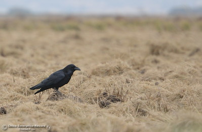 A crow is spotted in a field near Richvale, Calif.  Monday Oct. 24, 2016. (Bill Husa -- Enterprise-Record)