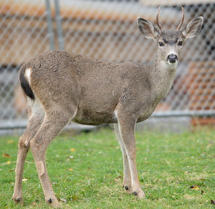 A young buck looks up while grazing on grass beside the parking lot at the Bidwell Bar Suspension Bridge near Lake Oroville, Calif. Wednesday Nov. 15, 2017. (Bill Husa -- Enterprise-Record)