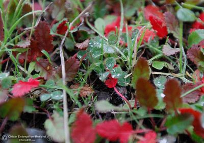 Water droplets sit in colorful clovers December 13, 2016 in Oroville, California. (Emily Bertolino -- Mercury Register)