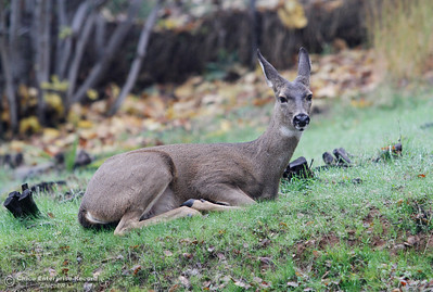 A little bit of mist and a lot of deers hanging out around Bidwell Canyon Marina; this mama deer watches over her little one December 14, 2016 in Oroville California. (Emily Bertolino -- Mercury Register)