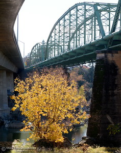 A fall colored tree is seen in between the bridges over the Feather River in Oroville, Calif. Wed. Nov. 29, 2017. (Bill Husa -- Enterprise-Record)