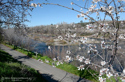 Trees along the Feather River bike path are covered with blossoms in Oroville, Calif. Monday Feb. 12, 2018.(Bill Husa -- Enterprise-Record)