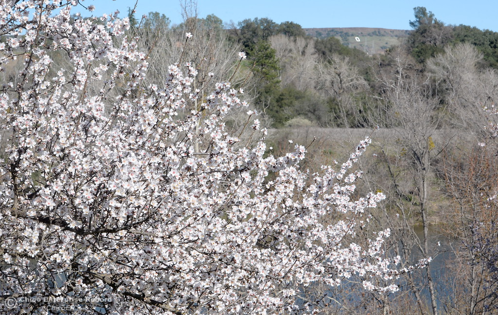 . Trees along the Feather River bike path are covered with blossoms in Oroville, Calif. Monday Feb. 12, 2018.(Bill Husa -- Enterprise-Record)
