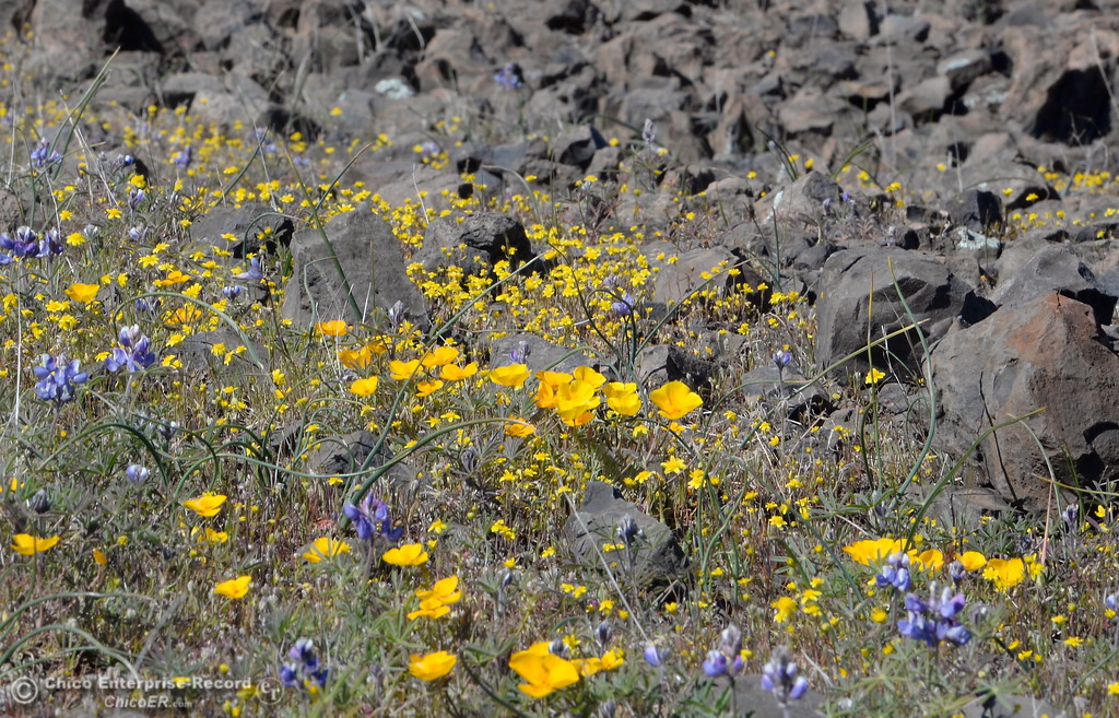. Hikers enjoy a stroll through the wildflowers that are just beginning to bloom on Table Mountain Monday March 5, 2018. Hikers 16-years or older are now required to have a Lands Pass or valid hunting or fishing license. (Bill Husa -- Enterprise-Record)