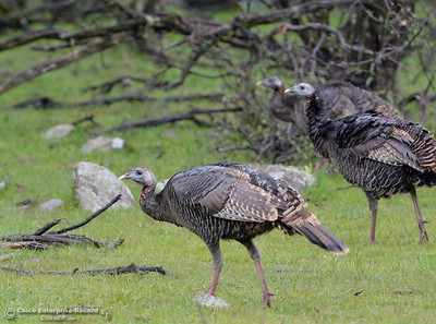A rafter of turkeys enjoy the rainy weather along Cherokee Road near Table Mountain Wednesday March 21, 2018.  (Bill Husa -- Enterprise-Record)
