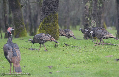 A rafter of turkeys enjoy the rainy weather along Cherokee Road near Table Mountain Wednesday March 21, 2018.  (Bill Husa -- Enterprise-Record)