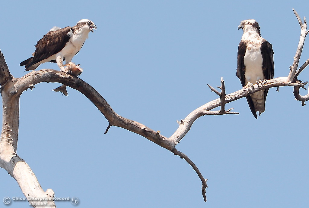 . Get your own fish! - A pair of osprey are seen as one of them eats a fish in the Oroville Wildlife Area Friday March 23, 2018.  (Bill Husa -- Enterprise-Record)