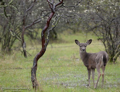 A doe stops to look over her shoulder along Cherokee Road Wednesday March 21, 2018.  (Bill Husa -- Enterprise-Record)
