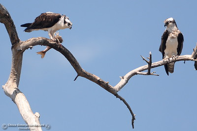 A pair of osprey are seen as one of them eats a fish in the Oroville Wildlife Area Friday March 23, 2018.  (Bill Husa -- Enterprise-Record)