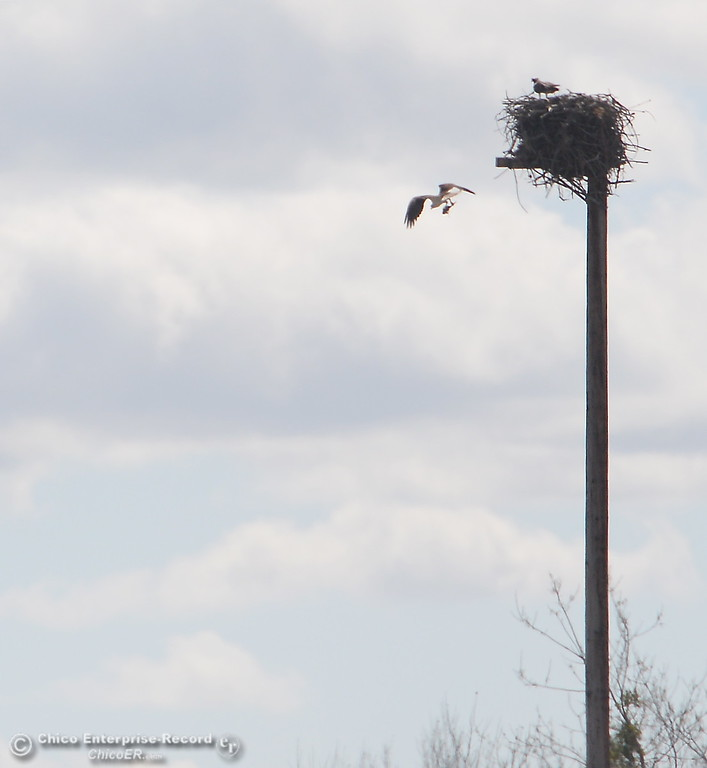 . A pair of osprey share a man made nest in the Oroville Wildlife Area Friday March 23, 2018.  (Bill Husa -- Enterprise-Record)