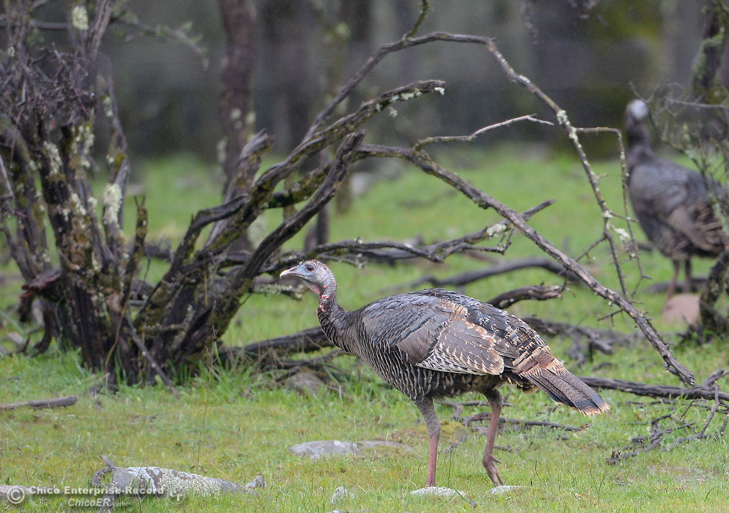 . A rafter of turkeys enjoy the rainy weather along Cherokee Road near Table Mountain Wednesday March 21, 2018.  (Bill Husa -- Enterprise-Record)