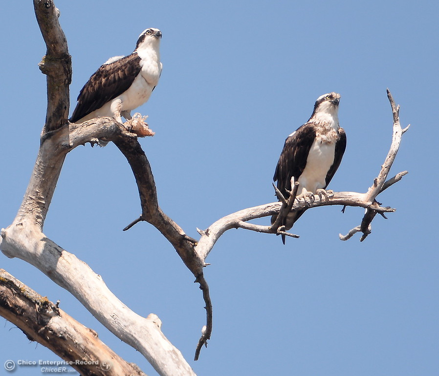 . A pair of osprey are seen as one of them eats a fish in the Oroville Wildlife Area Friday March 23, 2018.  (Bill Husa -- Enterprise-Record)