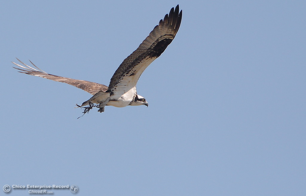 . An osprey flies in the Oroville Wildlife Area Friday March 23, 2018.  (Bill Husa -- Enterprise-Record)