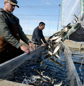 Fish & Wildlife Technician Anthony Lombardi, left and Scientific Aid Omar Jimenez corral the fish into a suction tube as they load up a truck Monday.   Roughly one million endangered baby Chinook Salmon that were saved by Department of Fish & Wildlife Technicians at the Feather River Fish Hatchery during the Oroville Spillway failure are released into the Feather River at the Boyd Pump Boat Ramp near Yuba City, Calif. Mon. March 20, 2017. (Bill Husa -- Enterprise-Record)