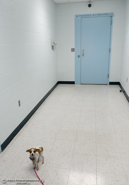 . Samson, a therapy dog owned by Leonora King, a Paraprofessional who works at Table Mountain School makes his way into the Juvenile Hall facility in Oroville, Calif. Wed. April 11, 2018. (Bill Husa -- Enterprise-Record)