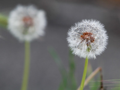 Dandelion seed heads Tuesday April 11, 2017 in Oroville, California. (Emily Bertolino -- Mercury Register)
