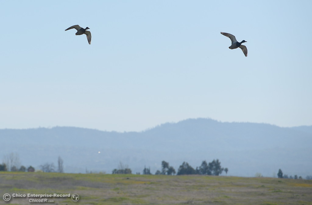 . A pair of ducks fly near the South Forebay recreation area is seen in Oroville, Calif. Wed. March 28, 2018.  (Bill Husa -- Enterprise-Record)