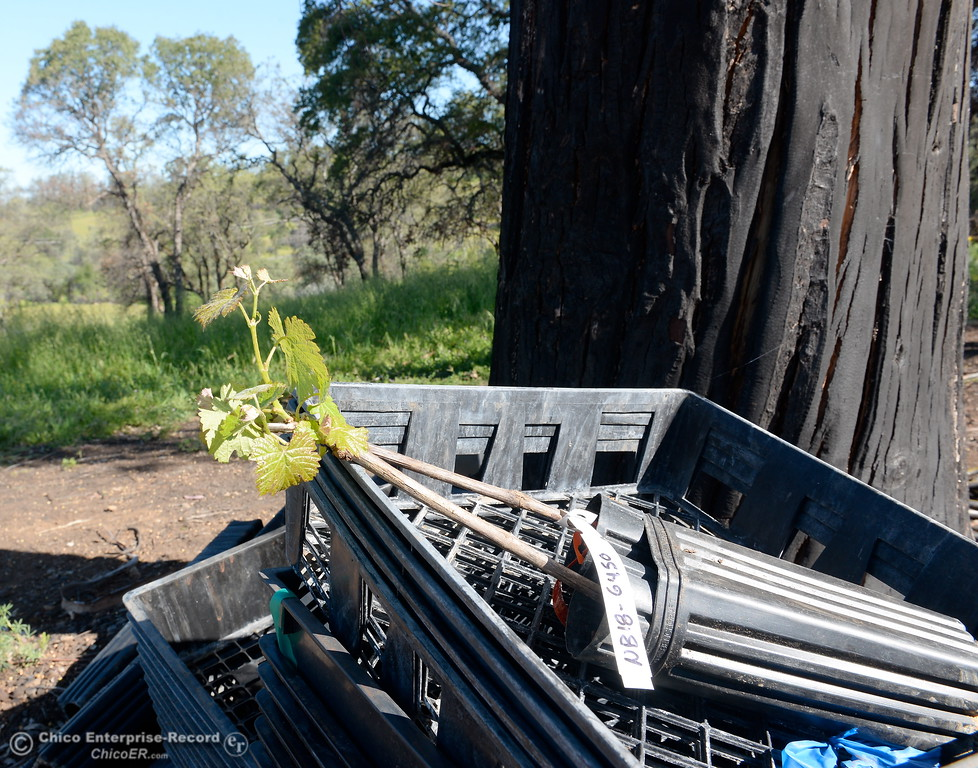 . A reminder of the fire is seen on a charred Eucalyptus tree as a new vine awaits planting at Bangor Ranch Vinyard & Winery on La Porte Rd. in Bangor, Calif. Friday April 20, 2018. (Bill Husa / Chico Enterprise-Record)