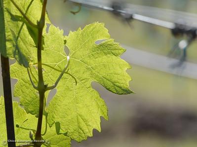 New grape vines begin to take root at Bangor Ranch Vinyard & Winery on La Porte Rd. in Bangor, Calif. Friday April 20, 2018. (Bill Husa / Chico Enterprise-Record)