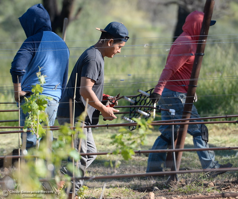 . Vinyard Manager Leo Perez, center,  is seen in the vinyard at Bangor Ranch Vinyard & Winery on La Porte Rd. in Bangor, Calif. Friday April 20, 2018. (Bill Husa / Chico Enterprise-Record)