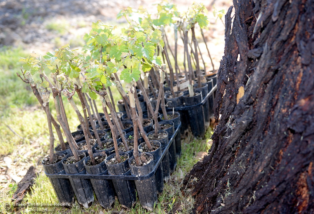 . New grape vines wait to be planted at Bangor Ranch Vinyard & Winery on La Porte Rd. in Bangor, Calif. Friday April 20, 2018. (Bill Husa / Chico Enterprise-Record)
