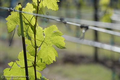 New grape vines begin to take root at Bangor Ranch Vinyard & Winery on La Porte Rd. in Bangor, Calif. Friday April 20, 2018. (Bill Husa / Chico Enterprise-Record)