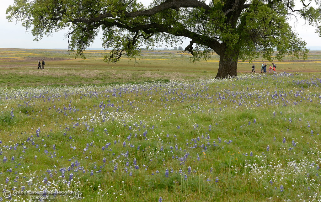. Hikers make their way out into the fields full of wildflowers at Table Mountain in Oroville, Calif. Thursday April 5, 2018.  (Bill Husa -- Enterprise-Record)