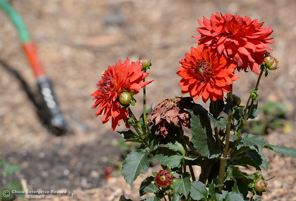 . Flowers are seen in a garden at Union Square on Montgomery Street during an interview with permaculture expert Matt Trumm in Oroville, Calif. Wednesday May 2. 2018. Union Square will host a Farmers Market every Saturday morning from 7:30 - Noon May 5th through October 27th.  (Bill Husa -- Enterprise-Record)
