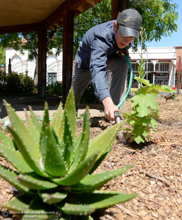. Permaculture expert Matt Trumm tends to plants at Union Square on Montgomery Street where he now runs a Farmers Market every Saturday from 7:30 - Noon starting May 5th through October 27th in Oroville, Calif. Wednesday May 2. 2018. (Bill Husa -- Enterprise-Record)