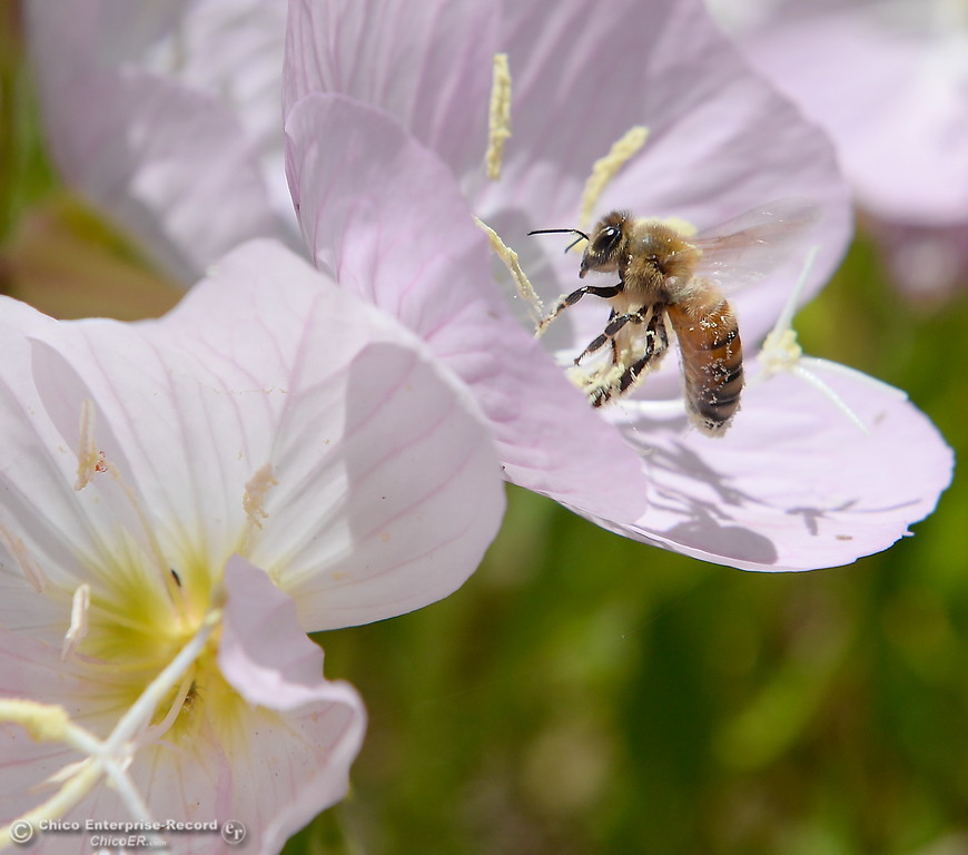 . A bee collects pollen from a flower at the Feather River Fish Hatchery in Oroville, Calif. Wednesday May 2. 2018. (Bill Husa -- Enterprise-Record)