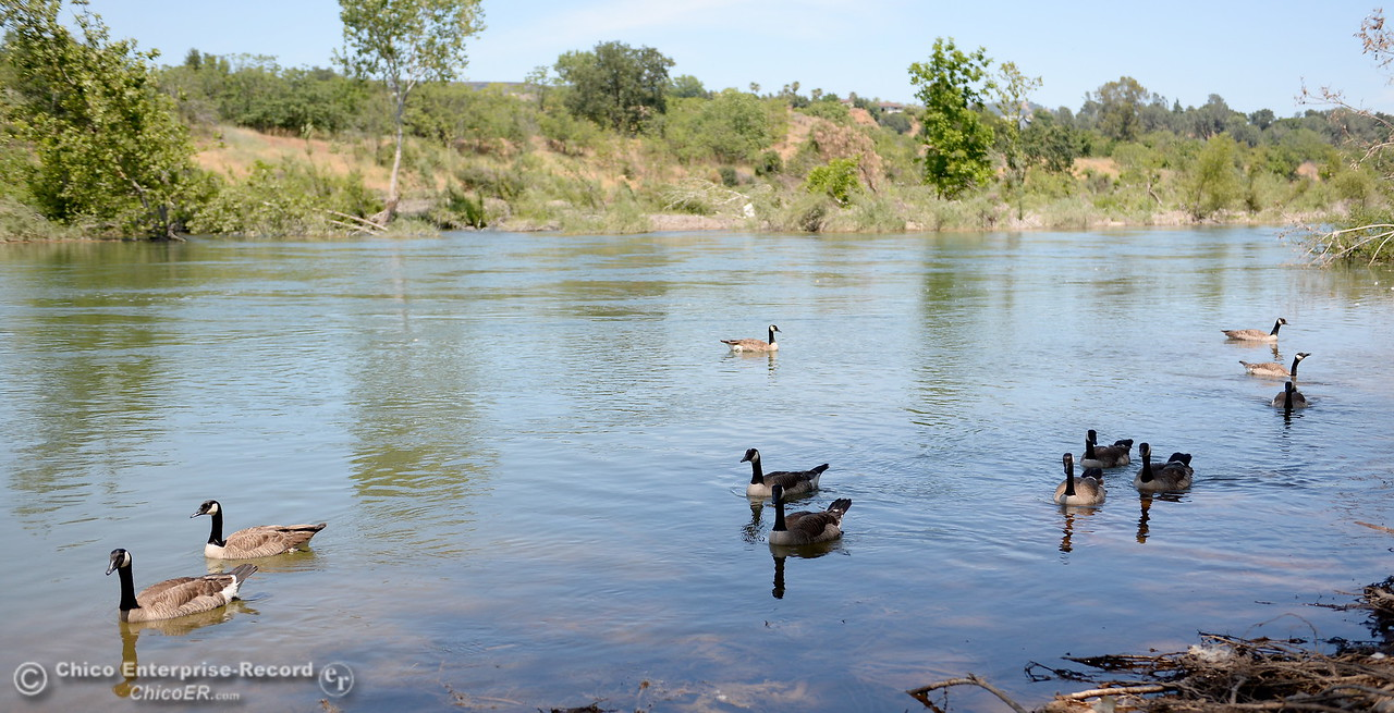A flock of Canada Geese swim around at Bedrock Park in Oroville, Calif. Monday June 5, 2017. (Bill Husa -- Enterprise-Record)