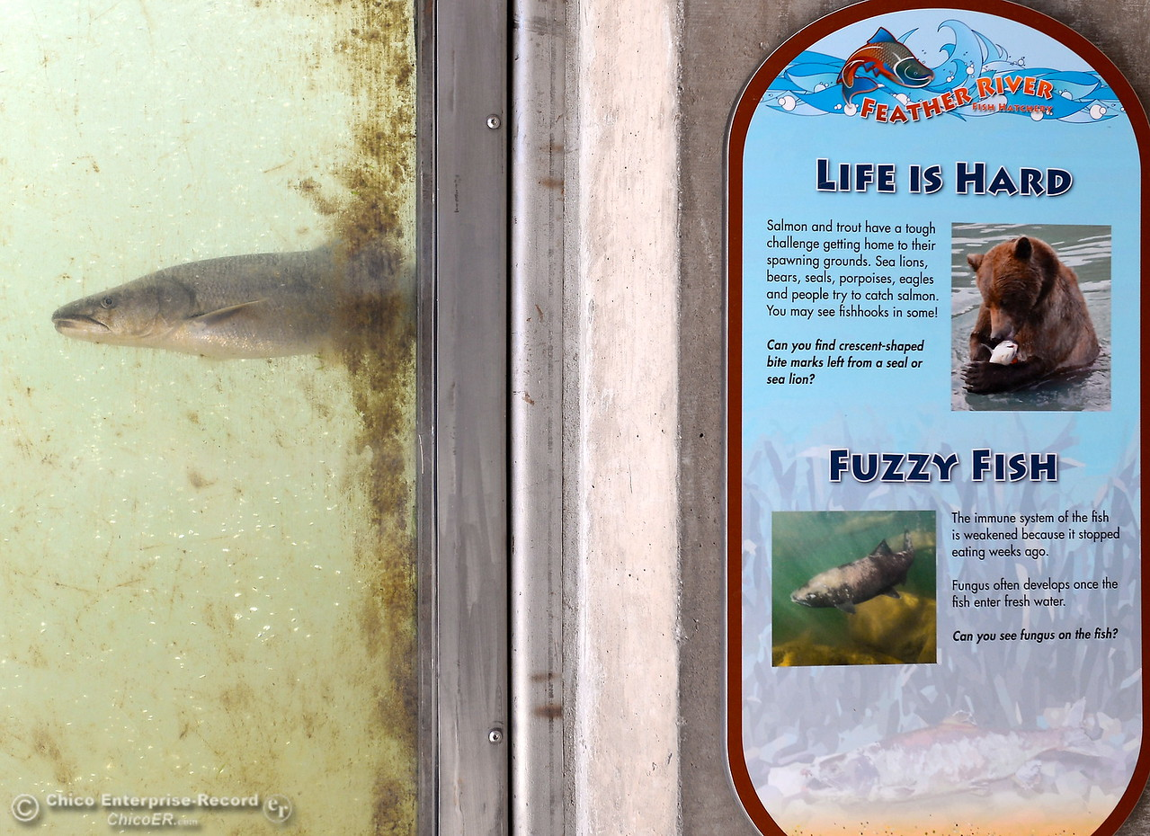 Pikeminnow are the only fish seen in the viewing windows today at the Feather River Fish Hatchery viewing windows in Oroville, Calif. Monday June 5, 2017. (Bill Husa -- Enterprise-Record)