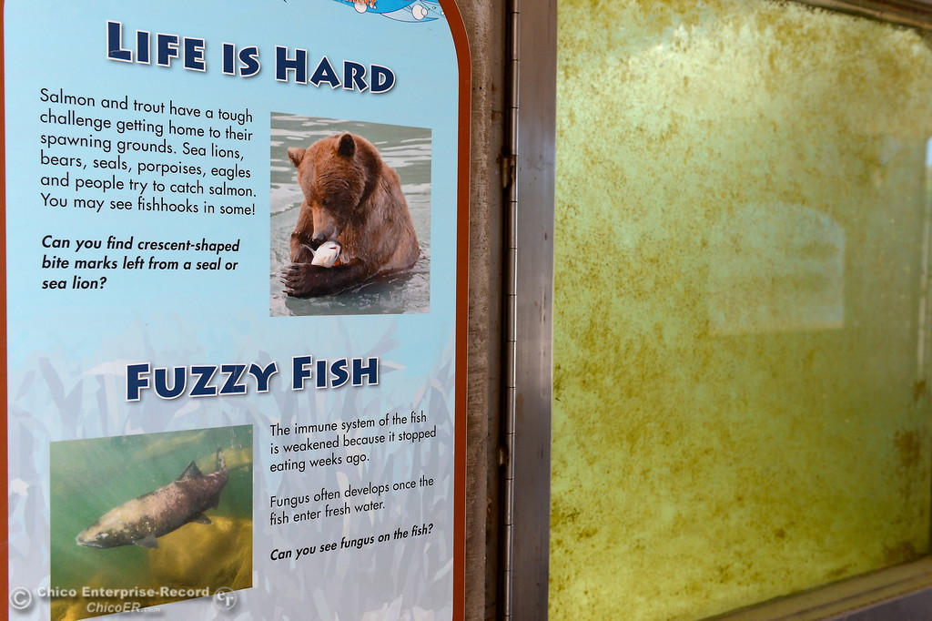 . Life is hard for a fish as explained by a sign beside the algea covered viewing windows at the Feather River Fish Hatchery fish viewing facility in Oroville, Calif. Monday June 5, 2017. (Bill Husa -- Enterprise-Record)