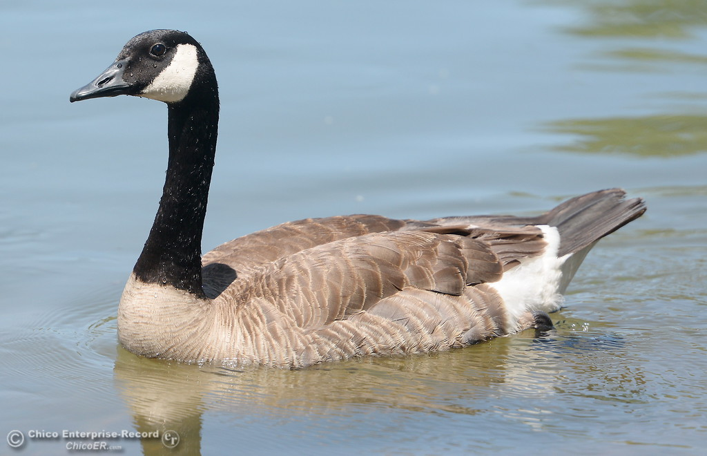 . A Canada Goose swims around at Bedrock Park in Oroville, Calif. Monday June 5, 2017. (Bill Husa -- Enterprise-Record)