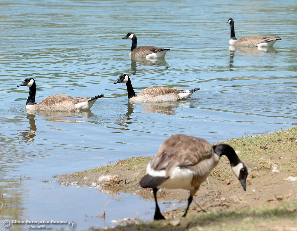 . A flock of Canada Geese swim around at Bedrock Park in Oroville, Calif. Monday June 5, 2017. (Bill Husa -- Enterprise-Record)