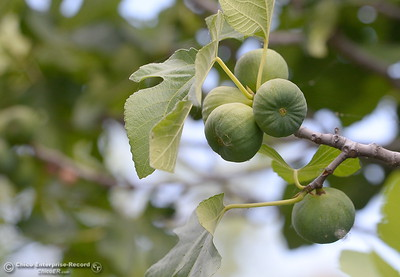A fig tree is producing fruit along the Feather River in Oroville, Calif. Wednesday May 30, 2018. According to the internet, figs in this area ripen in July and August. (Bill Husa -- Enterprise-Record)