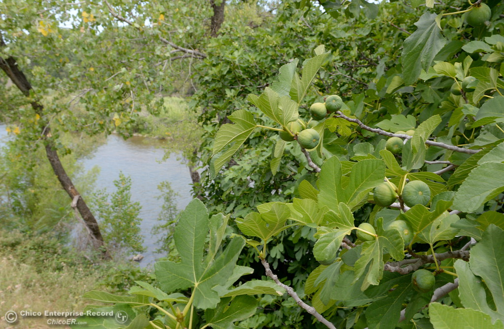. A fig tree is producing fruit along the Feather River in Oroville, Calif. Wednesday May 30, 2018. According to the internet, figs in this area ripen in July and August. (Bill Husa -- Enterprise-Record)
