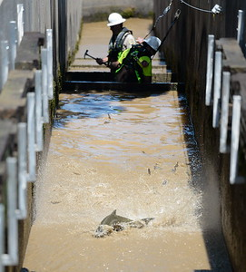 A few fish struggle in shallow water as they try to continue their journey upstream while Department of Fish & Wildlife Technicians shut down the fish ladder and crowd out the remaining fish at the Feather River Fish Hatchery in Oroville, Calif. Mon. July 17, 2017. (Bill Husa -- Enterprise-Record)
