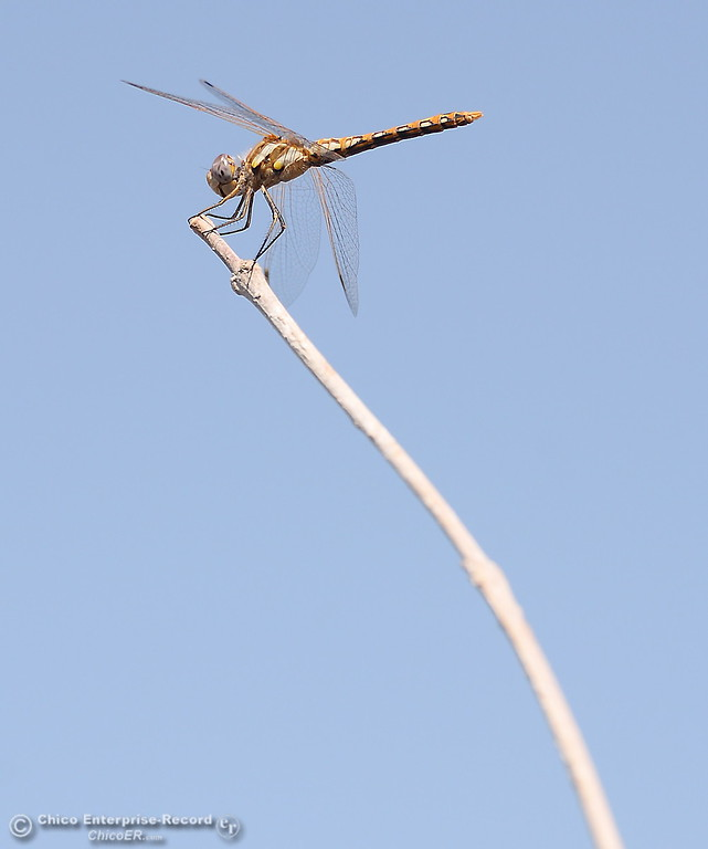 . A dragonfly perches on a stick along the Feather River near Bedrock Park in Oroville, Calif. Wed. July 26, 2017. (Bill Husa -- Enterprise-Record)