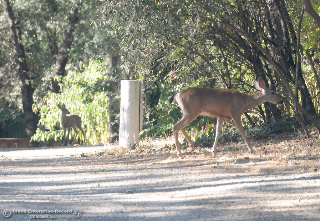 . A couple of deer are spotted on Scottwood Rd. in Paradise, Calif. Friday July 21, 2017. (Bill Husa -- Enterprise-Record)