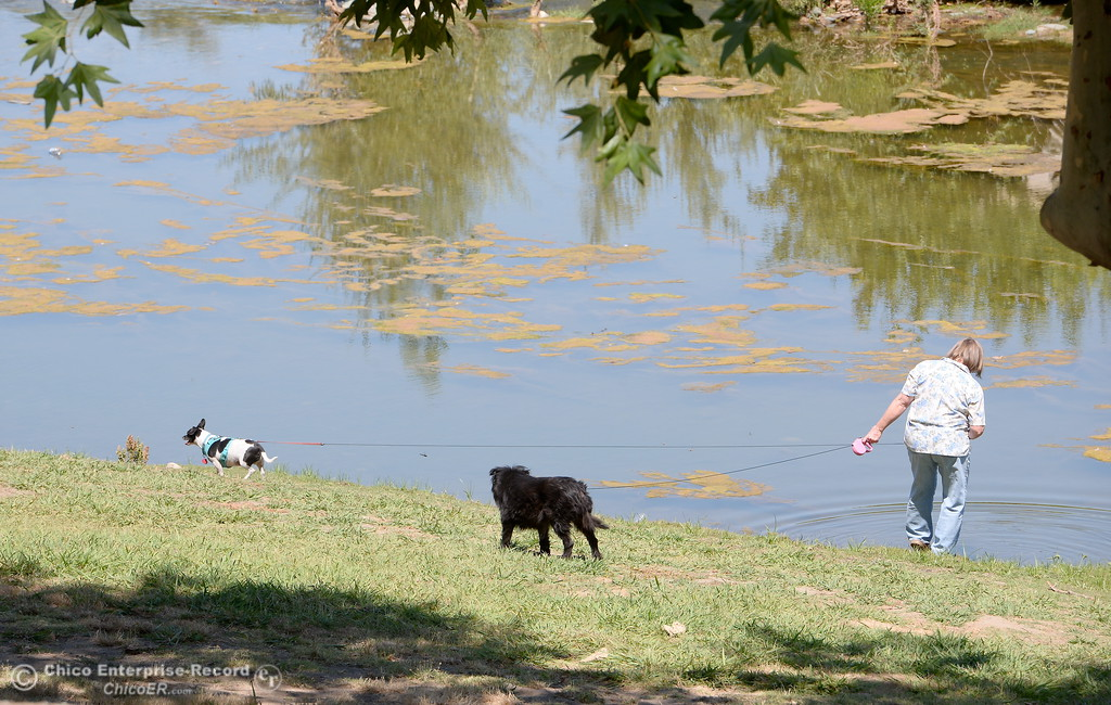 . Ramona Ramirez dips her toes in the water while walking her dogs Charlie and Baby at Bedrock Park in Oroville, Calif. Wed. July 26, 2017. (Bill Husa -- Enterprise-Record)