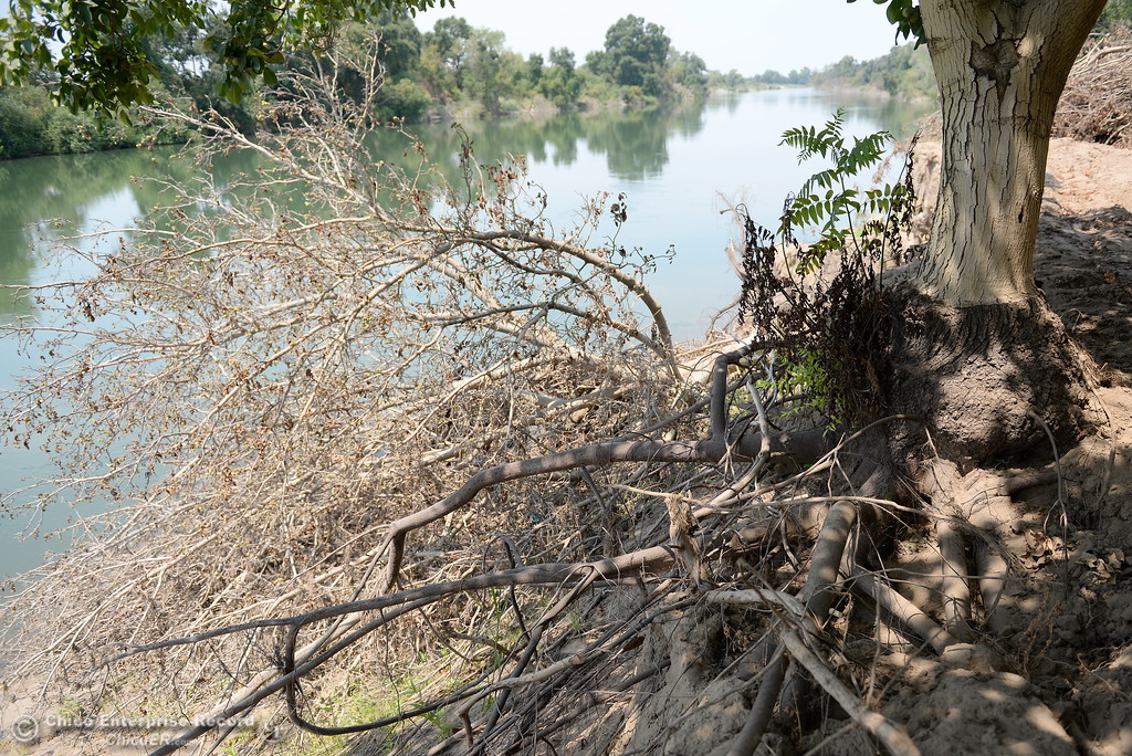 . Walnut trees at J.E.M. Farms damaged along the Feather River are seen after a press conference announcing the filing of a claim against DWR for damages to the orchard in Oroville, Calif. Thurs. Aug. 3 2017. (Bill Husa -- Enterprise-Record)