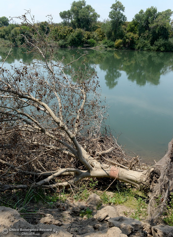 . A tree damaged by high water levels in the Feather River is seen at J.E.M. Farms after attorneys for the farm filed a claim against DWR for damages to JEM Farms and Chandon Ranch for lost acreage, lost production and cleanup/remediation costs due to the spillway failure in Oroville, Calif. Thurs. Aug. 3 2017. (Bill Husa -- Enterprise-Record)