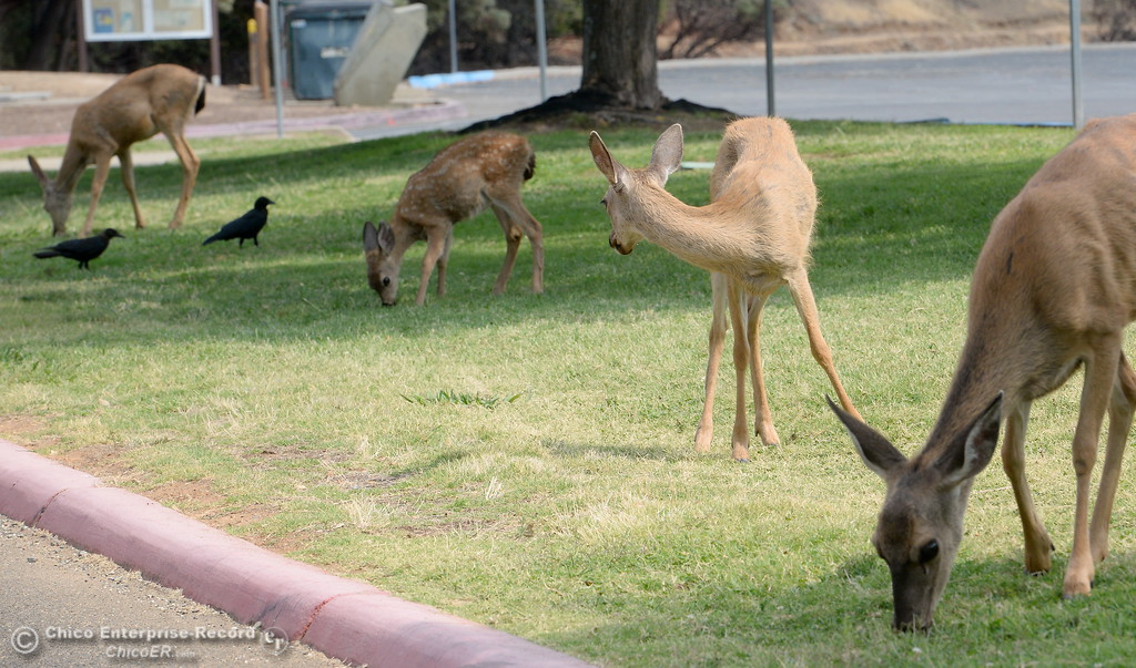 . Deer graze on the lawn along with some birds near the upper parking lot at the old Bidwell Bar Bridge beside the primary boat launch facility for Bidwell Canyon Marina in Oroville, Calif. Thursday Sept. 14, 2017. (Bill Husa -- Enterprise-Record)