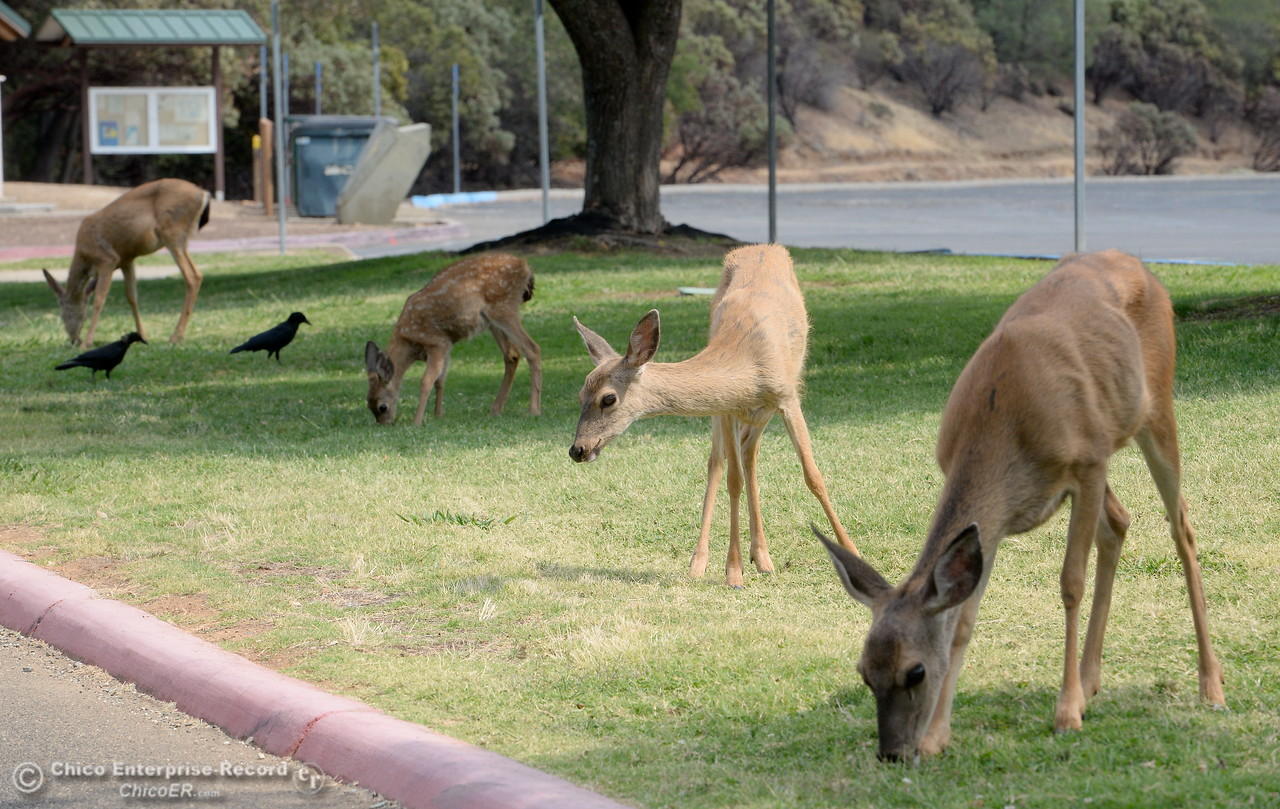 Deer graze on the lawn along with some birds near the upper parking lot at the old Bidwell Bar Bridge beside the primary boat launch facility for Bidwell Canyon Marina in Oroville, Calif. Thursday Sept. 14, 2017. (Bill Husa -- Enterprise-Record)